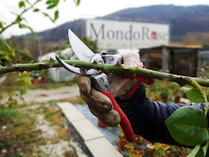 Corso di potatura delle rose terra nuova for Potatura delle rose