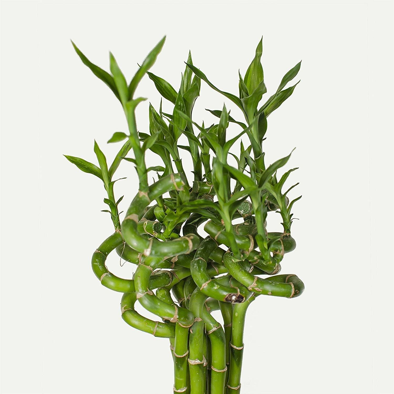 Come Curare Le Piante come prendersi cura del bambù della fortuna - terra nuova