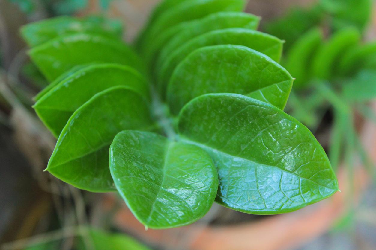 Pianta Da Ufficio Poca Luce gemma di zanzibar: la pianta da appartamento ideale - terra