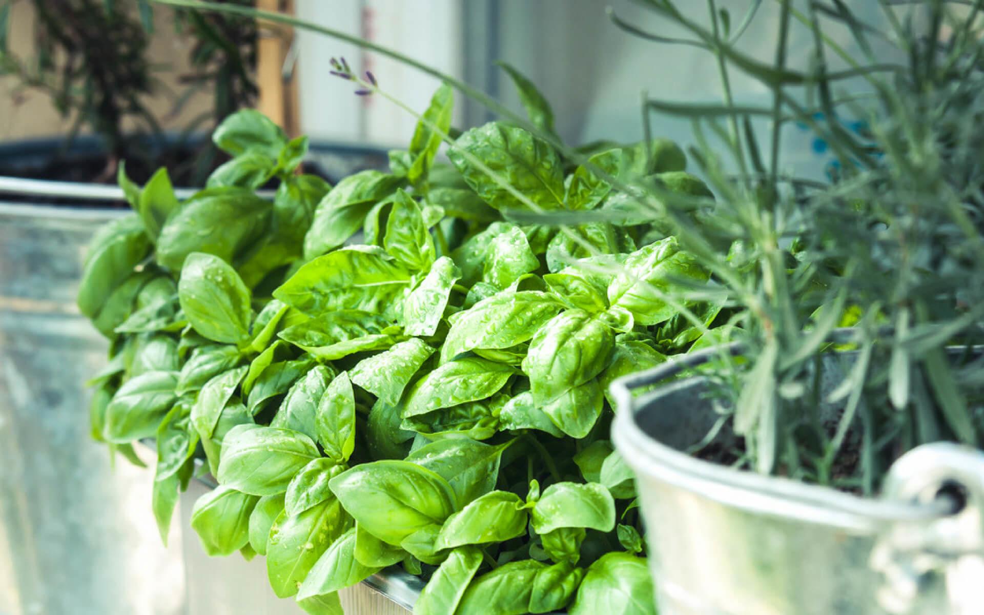 Avversità Delle Piante Coltivate piante aromatiche: il controllo dei parassiti - terra nuova