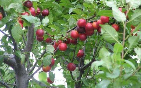 Condividere gli alberi da frutto terra nuova for Alberi frutta vendita