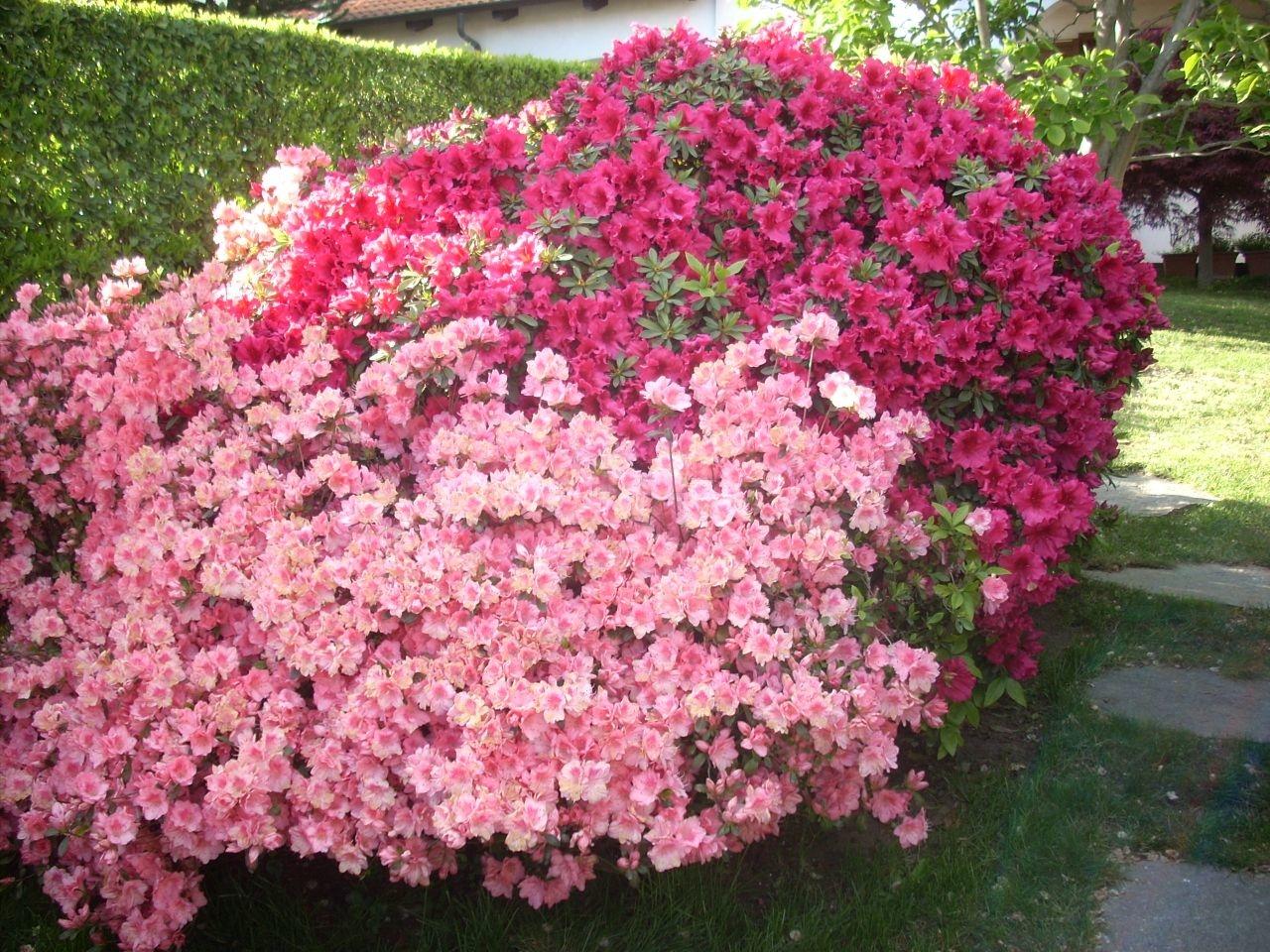 Azalea cure naturali fai da te terra nuova for Cespugli sempreverdi fioriti