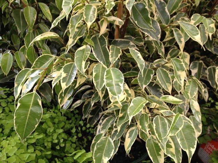 Piante Da Appartamento Benjamin.Coltivare Il Ficus Benjamin Terra Nuova