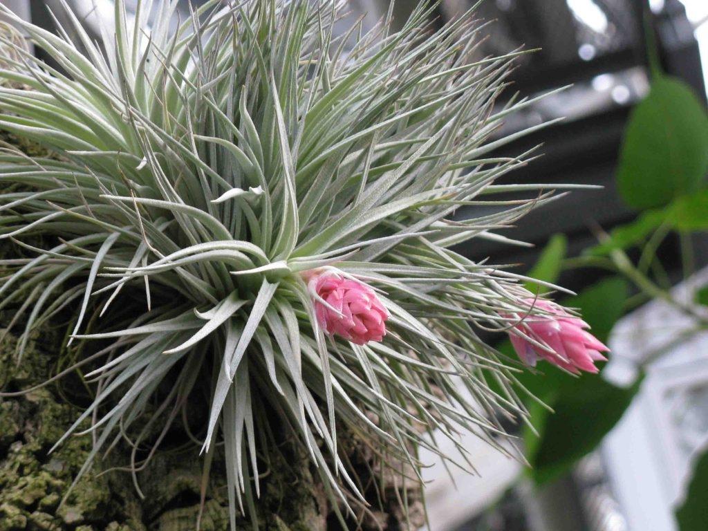 """Come Far Morire Una Pianta piante d'aria"""". coltivarle in appartamento - terra nuova"""