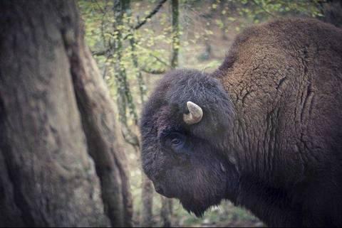 2daafb0b98 Arturo, l'ultimo bisonte - Terra Nuova