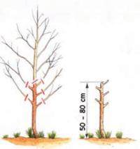 Trapianto e potatura degli alberi da frutta terra nuova for Potatura del melo