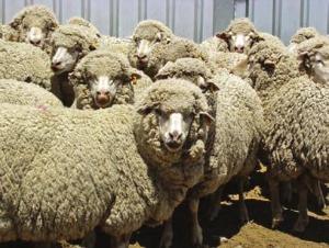 pecore_merinos
