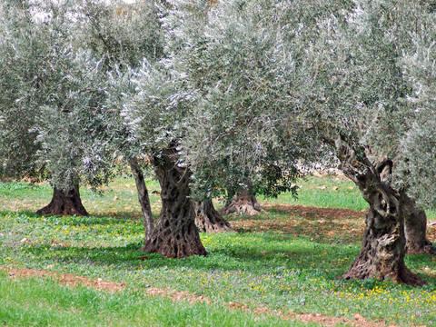 Mappa Xylella Puglia.Non C E Alcun Boom Di Casi Xylella A Dirlo E La Regione Puglia Terra Nuova