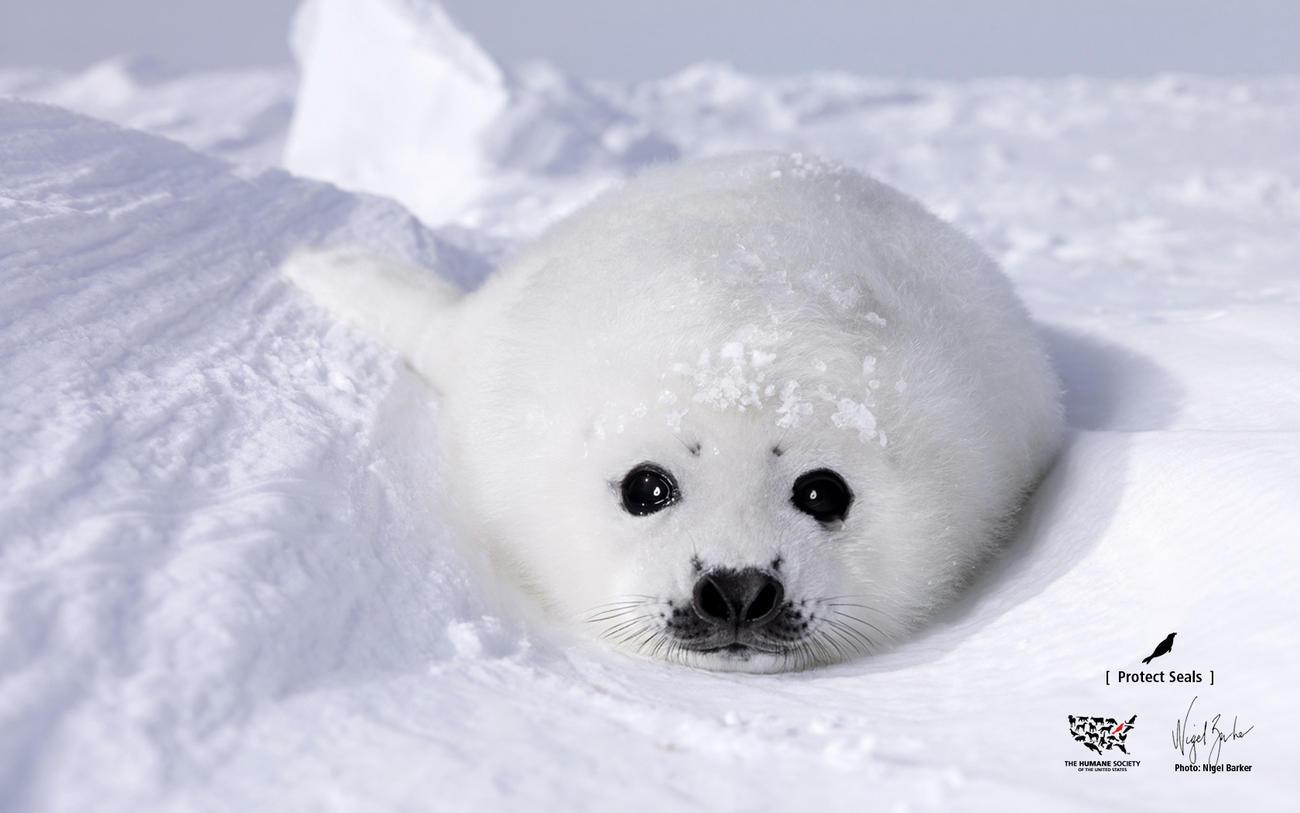 Cute Baby Seals 9361 Hd Wallpapers: La Mattanza Dei Cuccioli Di Foca