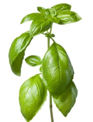 Come conservare il basilico sotto sale terra nuova - Come coltivare il basilico in casa ...